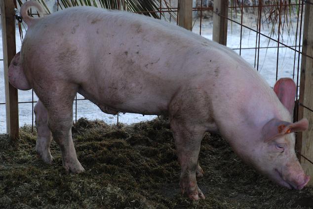 PIG_0168-634