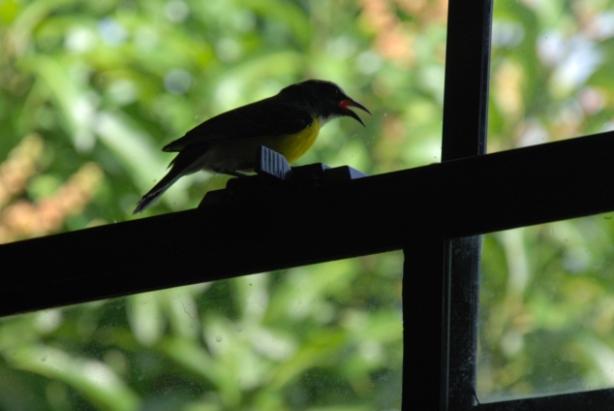 yellow bird_0153bb