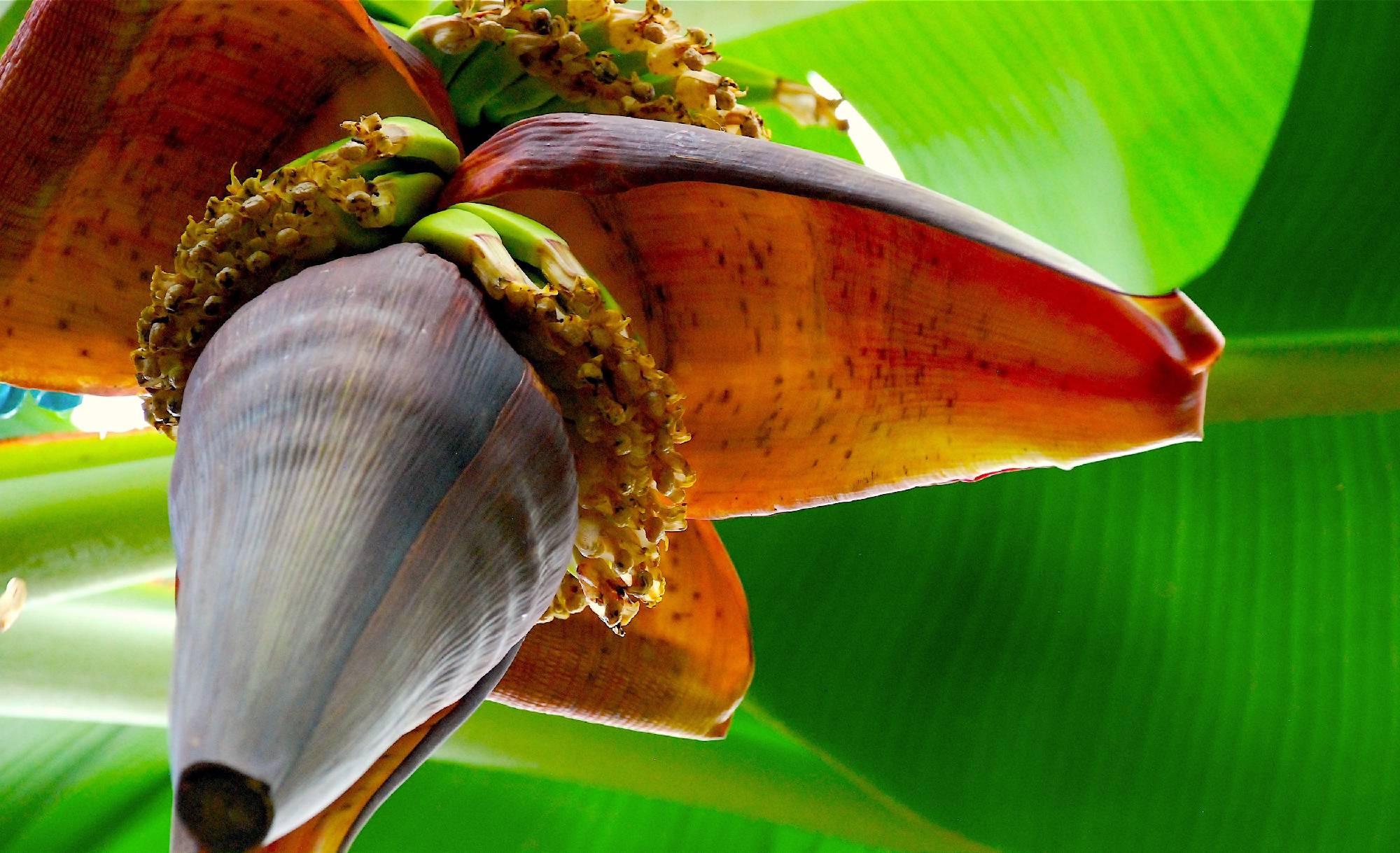 ©2016-realbigenvelope.com-flowering-banana-saint-lucia.