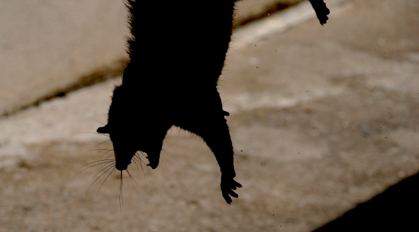 opossum-possum-dsc_0025-rbe