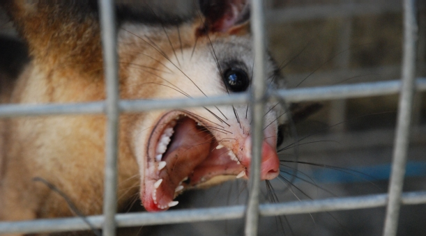 opossum-possum-dsc_0046-rbe