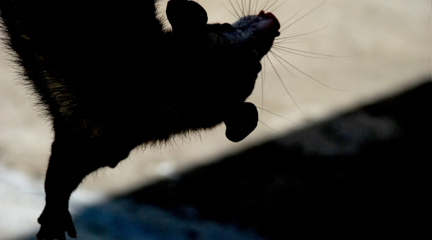 possum-dsc_0028-rbe-silho