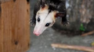 possum-dsc_0031-rbe