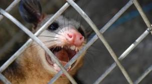 possum-dsc_0040-rbe