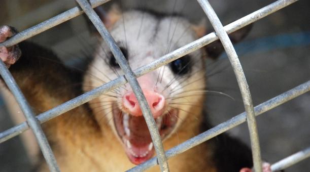 possum-dsc_0041-rbe