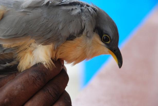 mangrove-cuckoo-miyok-0064-800x